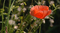 A poppy, the symbol of rememberance